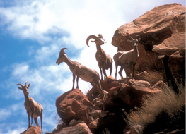 Big Horn Sheep in Dinosuar National Monument